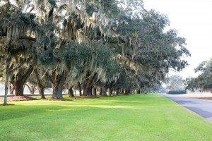 scenic spanish moss covered oak trees